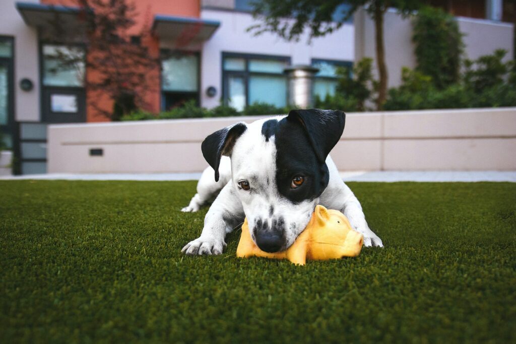 Pet picture of dog playing with a toy.