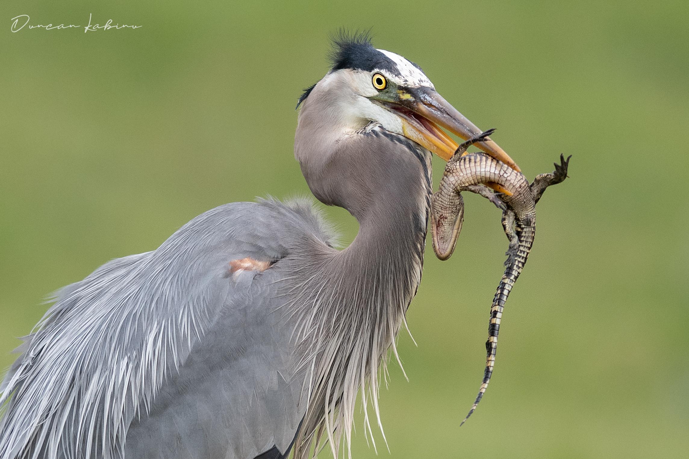 Heron eating a baby alligator