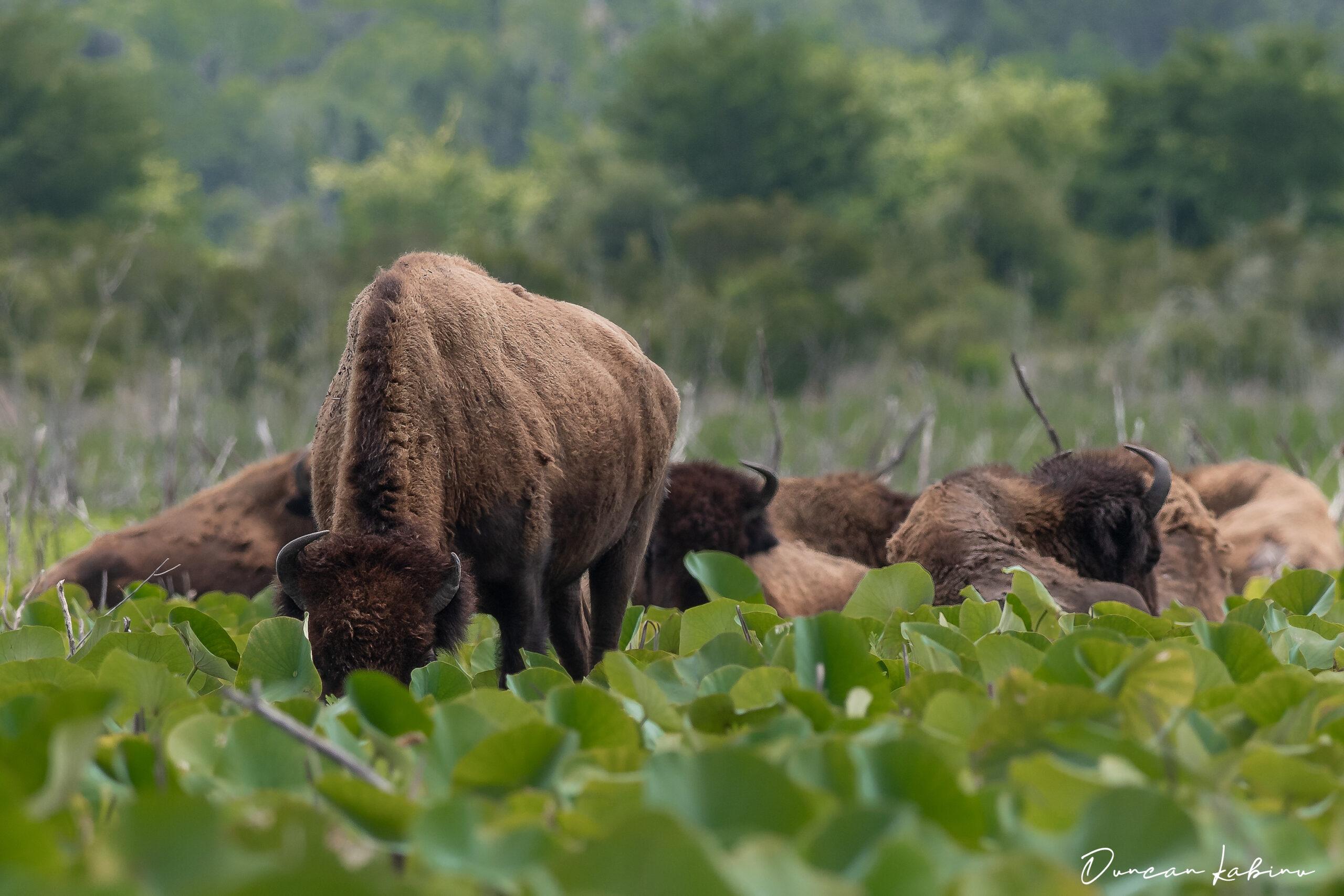 Herd of bison at Paynes Prairie