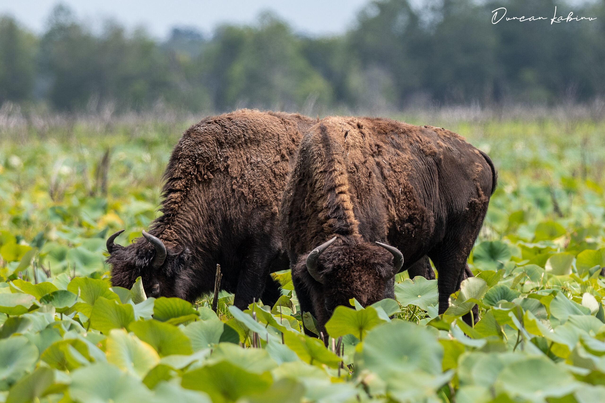 A pair of bison grazing