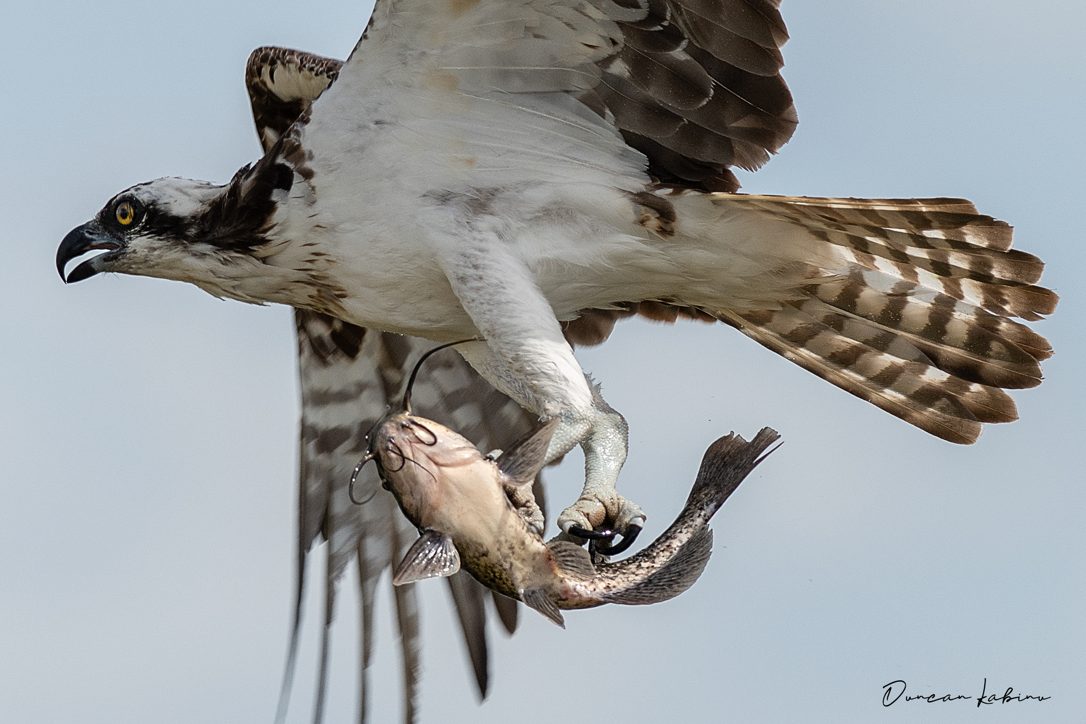 Osprey flying with a fish in its claws