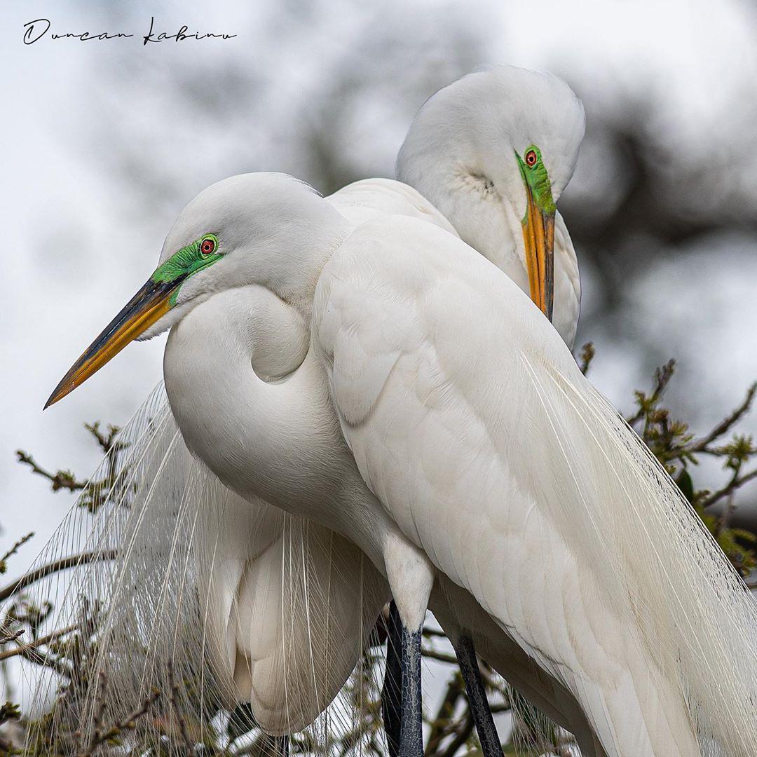 Two egret during breeding season